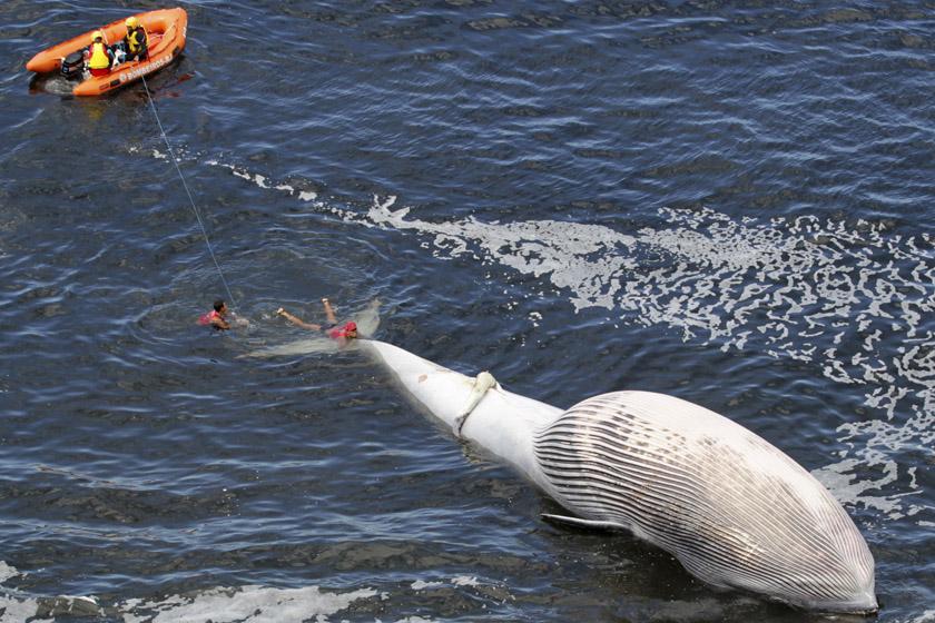 2012年3月20日,巴西里约热内卢圣康拉多海滩附近,救援人员试图推动一头死去的布氏鲸的尸体。 REUTERS/Sergio Moraes_财新每周图片(2012.3.17-3.23)