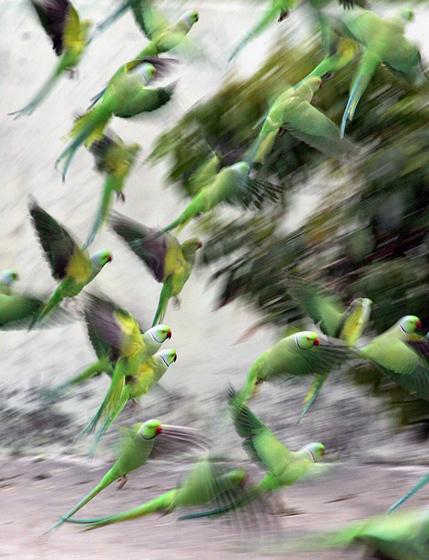 2012年3月20日,印控克什米尔Ambh村,鹦鹉在吃食之后,飞离院落。 CFP_财新每周图片(2012.3.17-3.23)