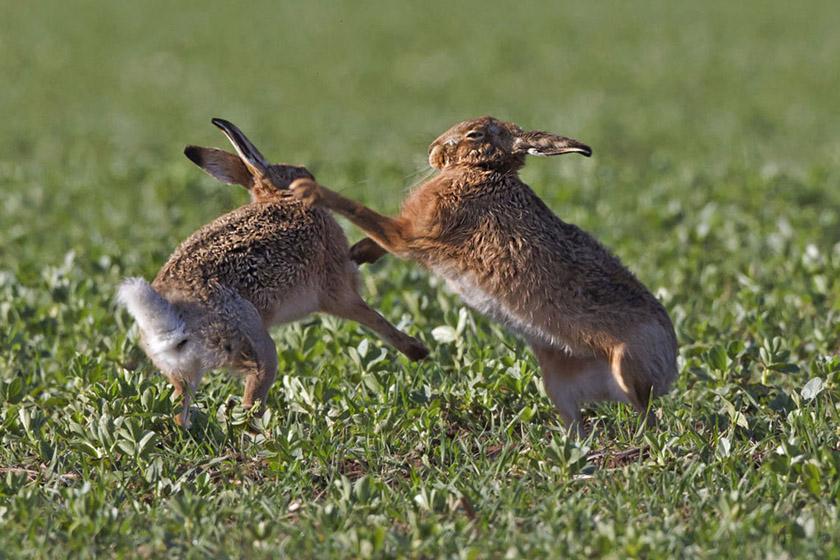 野生动物摄影师罗恩·麦克康比在苏格兰边境拍到了雌雄两只兔子打斗的场景。每逢春天,兔子们都会互相打斗,去争夺合适的伴侣进行交配。 barcroftmedia/CFP_财新每周图片(2012.3.17-3.23)