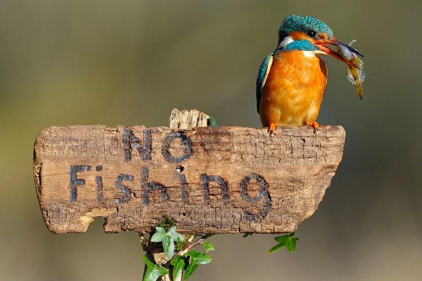 """一只翠鸟停在一块写有""""禁止钓鱼""""的警示牌上,而它嘴里却衔着一条刚刚捕捉到的新鲜小鱼。摄影师迪恩·梅森捕捉到了这个有趣的瞬间。 东方IC_财新每周图片(2012.3.24-3.30)"""