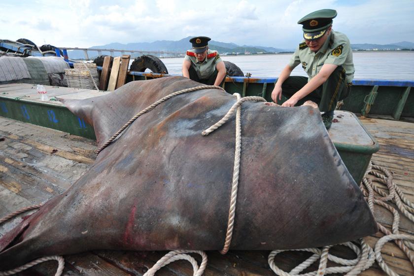 """9月3日,在台州海门港渔业市场码头,边防民警正在渔船上查看巨型蝠鲼。  浙报集团/东方IC_浙江渔民捕获一吨重""""魔鬼鱼"""""""