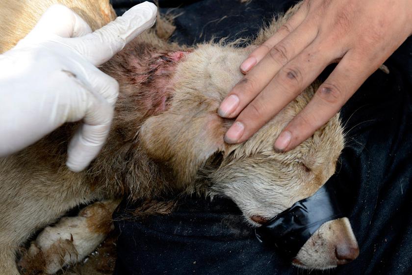 9月11日,流浪狗的脖子受伤。   HuYuanjia/CFP_流浪狗疑遭虐待 脖子上套2斤重钢圈