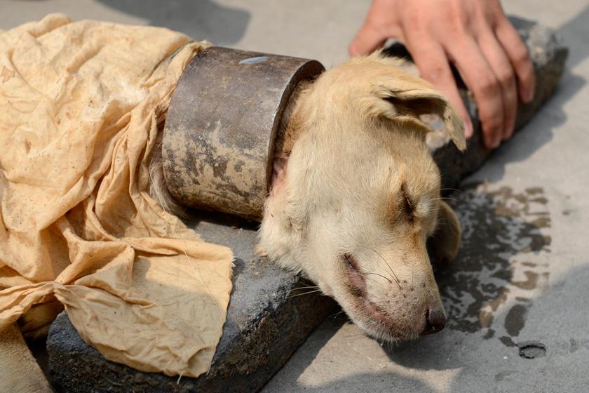 9月11日,流浪狗脖子上套着一个两斤重的钢圈。  HuYuanjia/CFP_流浪狗疑遭虐待 脖子上套2斤重钢圈