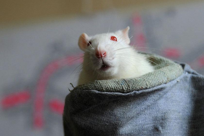 俄罗斯梁赞州医科大学解剖病理学系实验室中的小白鼠