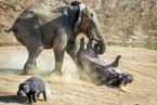 """纳米比亚一河马""""单挑""""大象"""