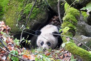 中国野生大熊猫数量十年增长16.8%