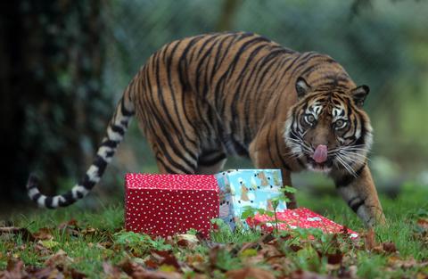 英动物园给老虎发圣诞礼物