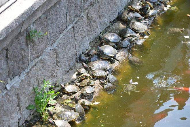 """青岛湛山寺放生池""""龟满为患"""" 乌龟叠罗汉"""