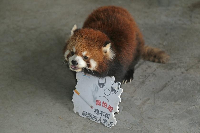 2016年5月30日,重庆,31日是第29个世界无烟日,在重庆永川的乐和乐都野生动物世界,拿着牌子的小动物。它们也通过自己的特殊方式参与到了控烟活动中来。工作人员把印有我怕呛我不和吸烟的人亲近吸烟有害健康等字样的宣传牌交给环尾狐猴、松鼠猴、黑猩猩、小熊猫等动物。 视觉中国