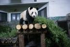 杭州熊猫馆迎来新主人