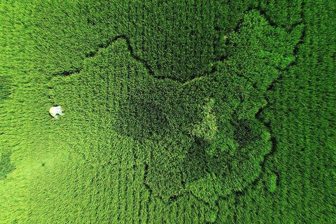 """上海一老人培育400多种水稻 种出""""中国地图"""""""