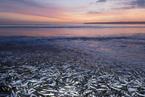 一周天下:千万条死亡的鲭鱼和鲱鱼堆积在海滩上