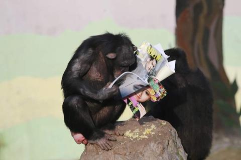"""重庆永川野生动物园的黑猩猩看书""""充电"""""""