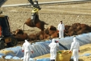 口蹄疫疫情持续 韩国宰杀掩埋数百头牛