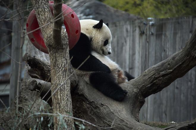 """旅美大熊猫""""宝宝""""启程回国 动物园举办告别活动"""