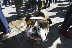 墨西哥950只英国斗牛犬聚会