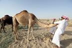 上万头卡塔尔骆驼和羊被沙特驱逐出境