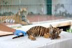 时隔15年广州动物园再次成功繁殖华南虎