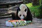 """海归大熊猫""""福豹""""吃""""冰蛋糕""""过四岁生日"""