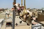 巴基斯坦人屋顶养动物 起重机运牲畜迎宰牲节