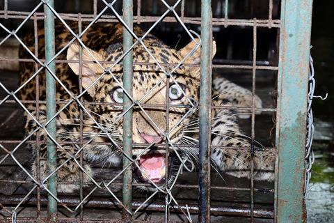 当地时间2017年9月13日,印度阿萨姆邦高哈蒂,一头雄性豹子闯入Kamakhya山区一户住宅中,兽医和森林管理员将其麻醉后抬出,送往动物园。图/视觉中国