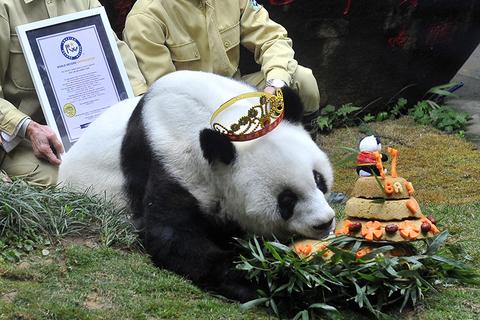 """9月13日上午,37岁大熊猫""""巴斯""""在海峡(福州)大熊猫研究交流中心离世。2017年1月18日,福州,""""巴斯""""迎来37周岁生日,戴上皇冠。图/视觉中国"""