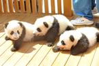陕西三只新生秦岭大熊猫公开征名认养