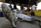 鱼翅贸易猖獗 印尼非法捕捞屡禁不止
