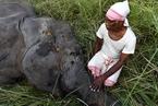 印度野象居民区觅食 横穿铁道被撞身亡