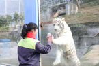 白虎学饲养员擦玻璃 越擦越脏引游客捧腹