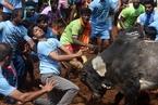 印度村庄举行传统驯牛节 上演人牛大战