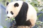 """旅日熊猫""""香香""""人气爆棚 游客凌晨排队参观"""