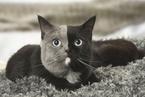 """法国""""双面猫""""模样萌趣 因基因嵌合导致"""