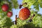 俄摄影师创意拍蚂蚁 画面梦幻又写真充满童趣