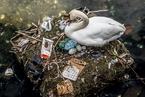 丹麦一天鹅在垃圾堆中筑巢产卵