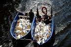 德国高温天鹅热到受不了 坐船到冬季栖息地避暑