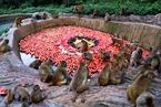 """河南遇高温 野生猕猴享受""""豪华""""冰镇水果餐"""