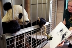 """奥地利动物园内大熊猫""""作画"""" 每幅卖数千元"""