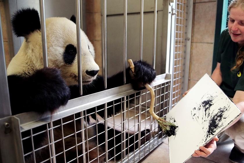 """""""奥地利动物园内大熊猫""""作画"""""""
