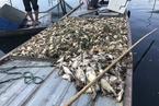 安徽五河沱湖鱼蟹大范围死亡 与上游水污染有关
