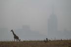 肯尼亚长颈鹿数量减少过半 种群恢复计划启动