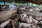 印尼爆发猪霍乱疫情 已有4000多头猪被感染