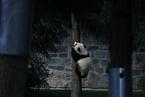 """大熊猫""""贝贝""""结束旅美生涯 启程回国"""