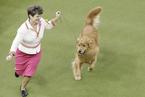 威斯敏斯特犬展持续举行 宠物与主人亲密互动