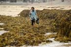 悉尼大量海藻冲刷上岸 堆积如山