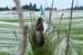 """印尼农民为植物安上""""蚊帐"""" 抑制鸟类侵害"""