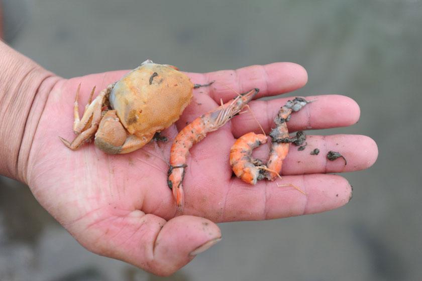 9月3日,虾塘里发现的虾和螃蟹不同程度腐烂。 CFP_康菲溢油 3万亩虾池成油池 养虾户损失2亿