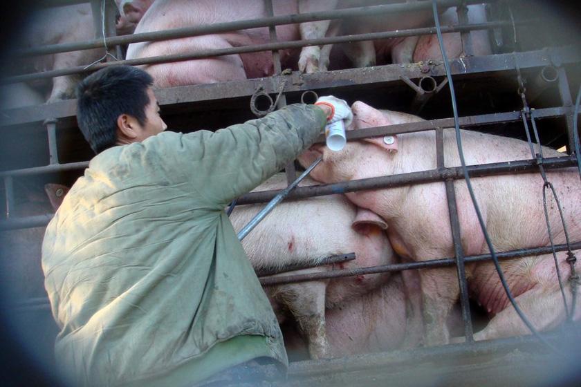 """2010年12月2日,北京东六环主路一辆运猪车停靠在路边,不法商贩勾住猪嘴给猪灌水。  京华时报张沫/CFP_有""""毒""""食品"""