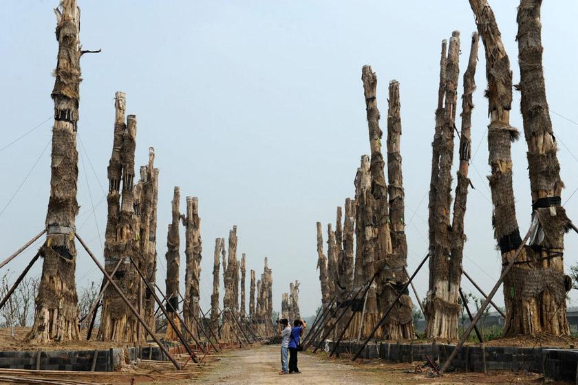7月16日,安徽省合肥市,成排的紫薇古树都已死亡。 马启兵/CFP_合肥天价引进越南古树濒临死亡