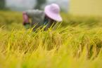 汛情干扰水稻生产 官方称仍有望实现灾年丰收